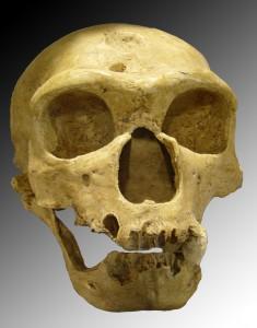 Homo sapiens neanderthalensis.jpg